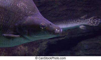 Close up 4K shot of a big fish passing by
