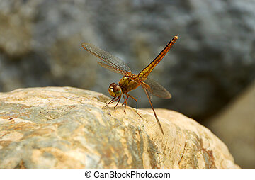 close up a dragonfly on the rock.