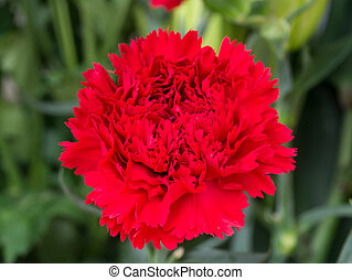 Close up a red flower of carnation.