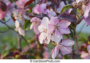 Close up. A soft pink flower on a tree branch. Flowering of a fruit flower. Spring period.