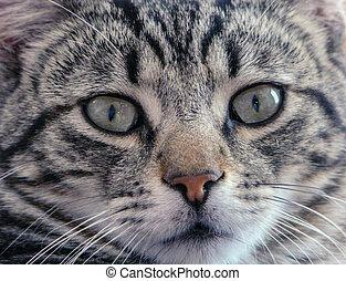 Close-up a tabby cat