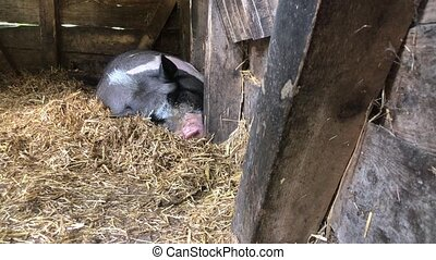 Close-up. A wild boar sleeps in a cage and snores loudly