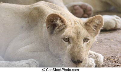 a young white lion - Close up a young white lion resting on...