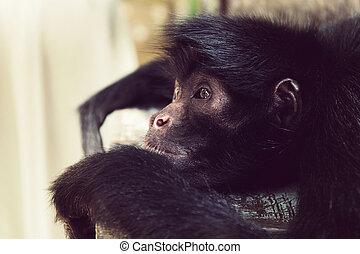 close-up, aap, gekopt, spin, black , het liggen