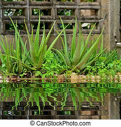 Close up Aloe Vera Plant