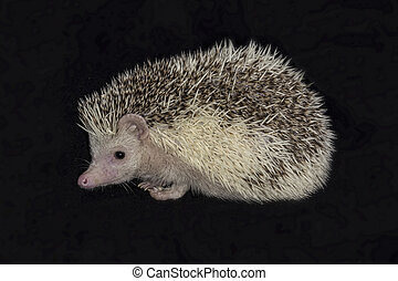African pygmy hedgehog - Close up and isolated photograph of...