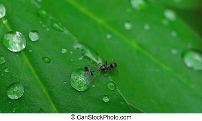 Close-up ant and aphid - Close-up of an Ant and Aphid on...