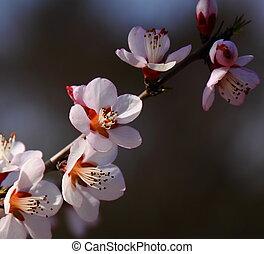 Close-up apricot flower