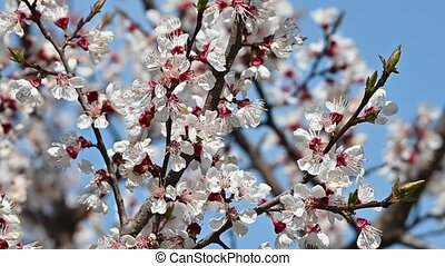 Close up apricot tree blossom over clear blue sky - Close up...