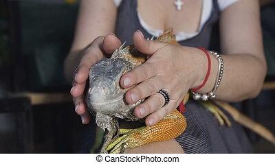 Close-up. aptive reptile - Australian Bearded dragon pet lizard warming up lying on on her legs