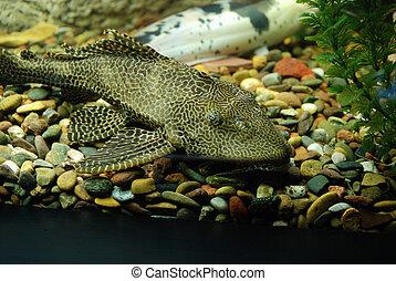 aquarium fish - close-up aquarium fish
