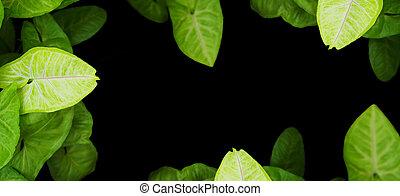 Close up arrowhead vine plant over black background.