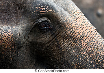 Asian elephant eyes.