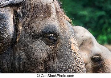 Asian elephant eyes.