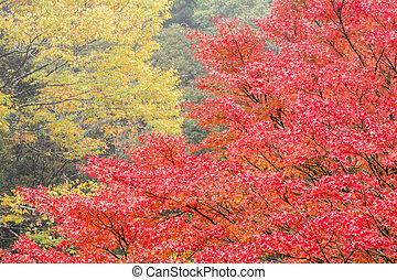 Close up autumn maple tree