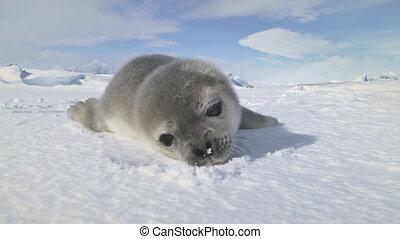 Close-up baby Weddell seal, Antarctica.