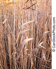close up background of golden brown reeds plant