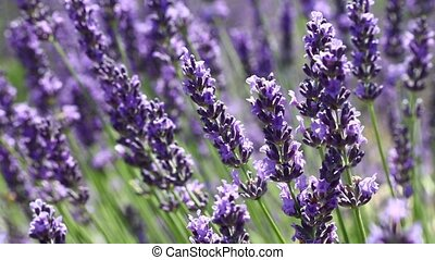 Close up background of lavender flowers field - Close up...