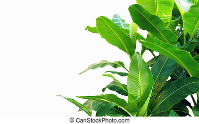 banana leaves isolated on white background.