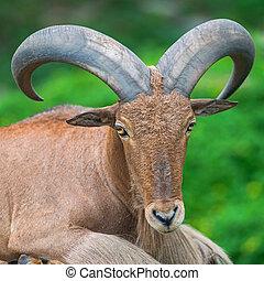 Barbary sheep - Close-up Barbary sheep (Ammotragus lervia)