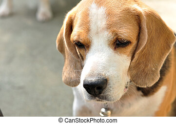 Close up beagle, feel lonely.