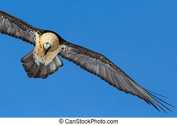 close-up bearded vulture (gypaetus barbatus) flying in blue ...