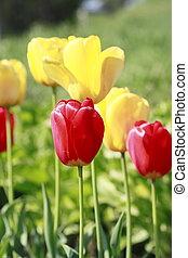 Beautiful blossoming tulip