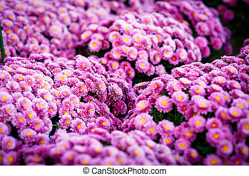 Close up Beautiful flowers of chrysanthemums, natural background