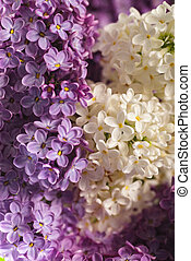lilac background - close up beautiful lilac background with...