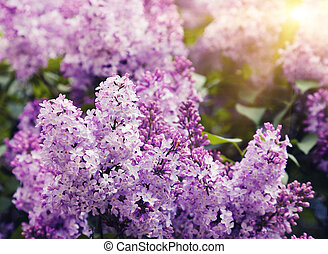 lilac - Close-up beautiful lilac flowers with the leaves