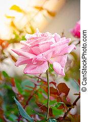 beautiful pink rose flower on tree in a garden