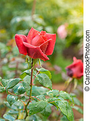 beautiful red rose in a garden