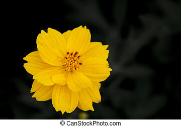 Close up beautiful Yellow Cosmos flower over black background in summer spring happy time.