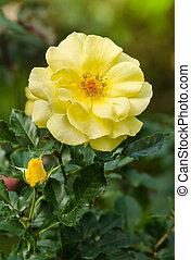 beautiful yellow rose in a garden