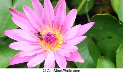 Close up, bee on pink lotus.