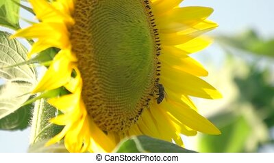 Close up bee on sunflower.
