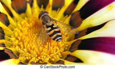 bee sits in centre of flower - close up bee sits in centre...