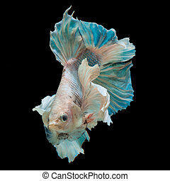 betta fish - close up betta fish, siamese fighting fish ...
