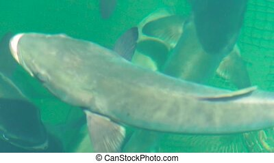 Close up big fish floating in water on sea farm. Breeding and cultivation, fish farming in open sea water space
