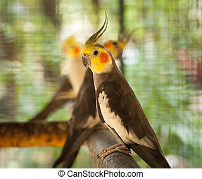 Nymphicus hollandicus. - Close-up bird Nymphicus hollandicus...