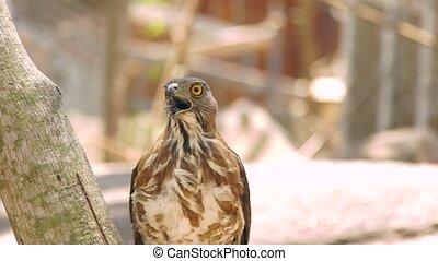 Close up bird of prey falcon on tree branch. Predatory bird...