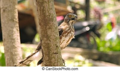 Close up bird of prey falcon with open mouth on tree branch....