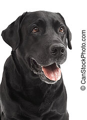 close-up Black Retriever Labrador Dog isolated