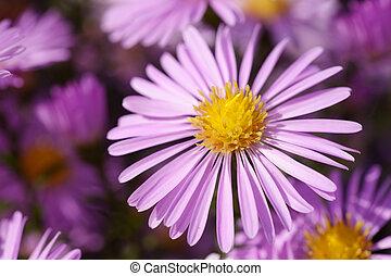 close-up, bloem, aster, tuin