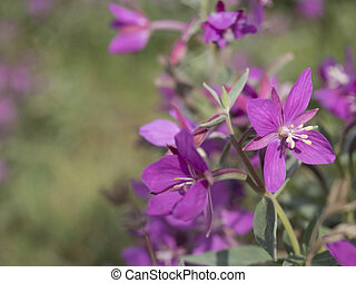 close up blooming pink flowers of the willowherb, Chamaenerion angustifolium known as fireweed, great willowherb, rosebay willowherb on a bokeh blurred green background. Copy space