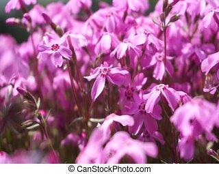 Close up Blooming Shibazakura Pink Moss flower garden