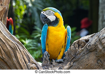 Close up  Blue and yellow Macaw on a branch