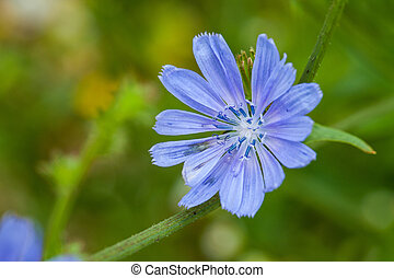 Close up blue chicory flower (cichorium intybus), shallow...