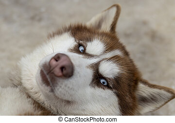 Close up blue-eyed Gray Adult Siberian Husky Dog portrait