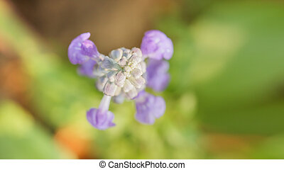 Close up blue sulvia flower in garden.